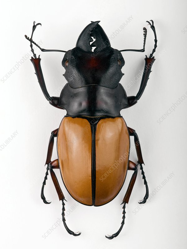 Odontolabis stag beetle