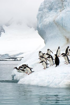 Gentoo penguins jumping into the sea