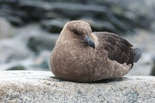 Brown skuas