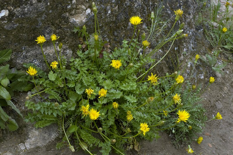 Hyoseris radiata