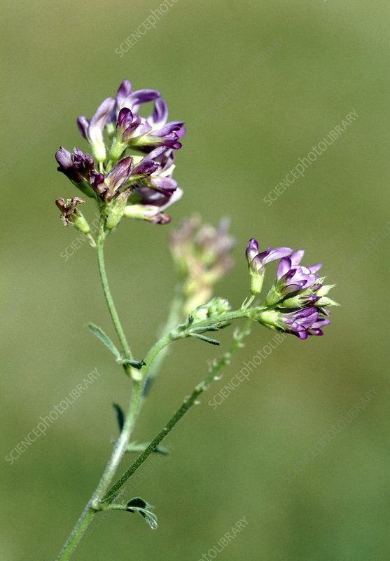 Purple milk vetch (Astragalus danicus)