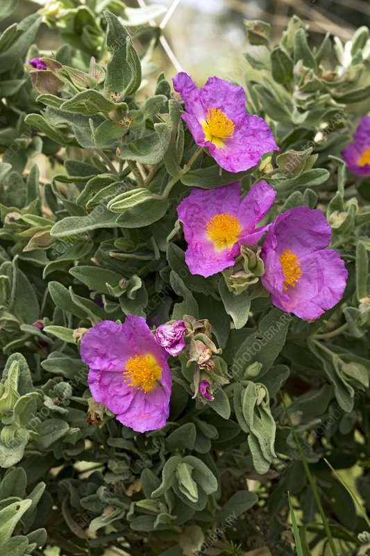 White-leaved rock rose (Cistus albidus)
