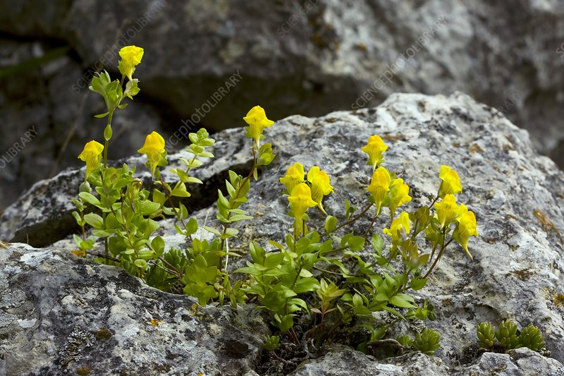 Toadflax (Linaria platycalyx)