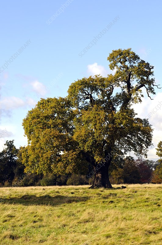 Oak tree (Quercus sp.)