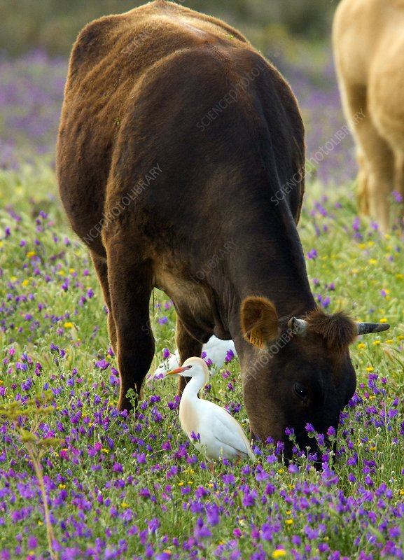 Cattle and cattle egrets