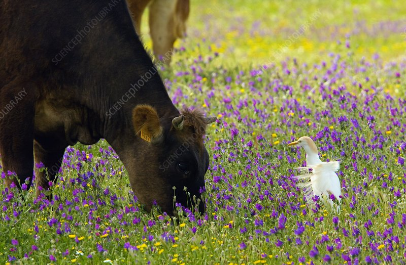 Cattle and cattle egret