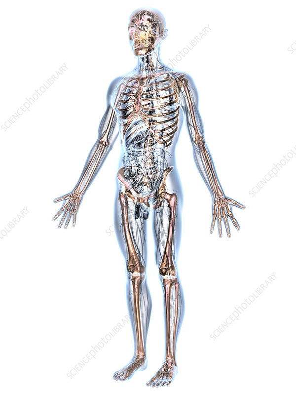 Human male anatomy, artwork