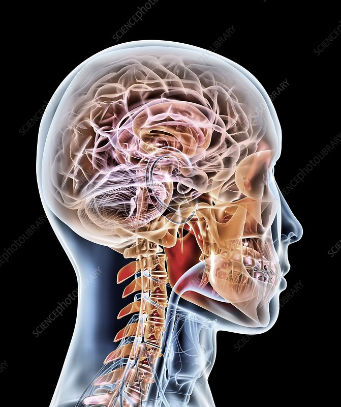 Internal brain anatomy, artwork