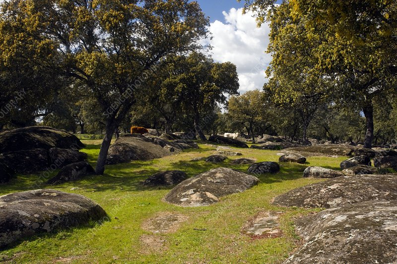 Holm oak trees