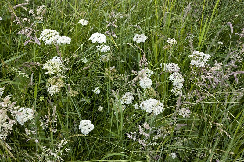 Water dropwort (Oenanthe pimpinelloides)
