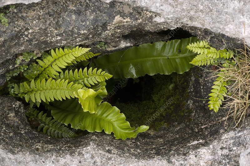 Ferns in a limestone pavement