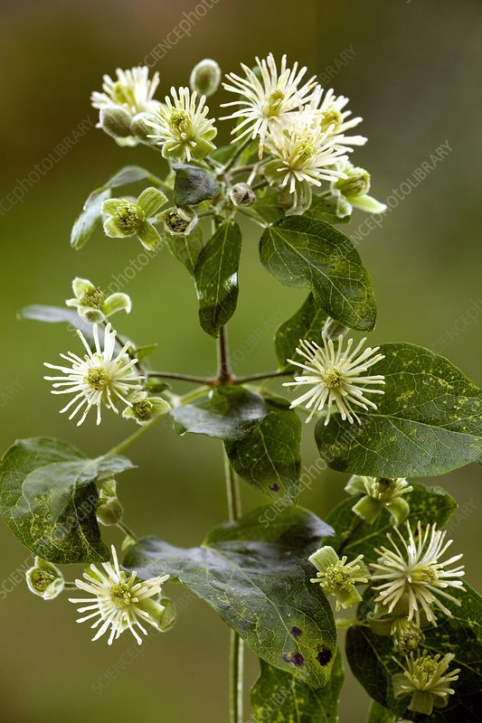 Old man's beard (Clematis vitalba)