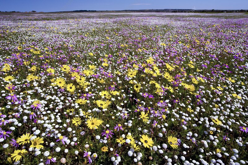 South African wildflowers