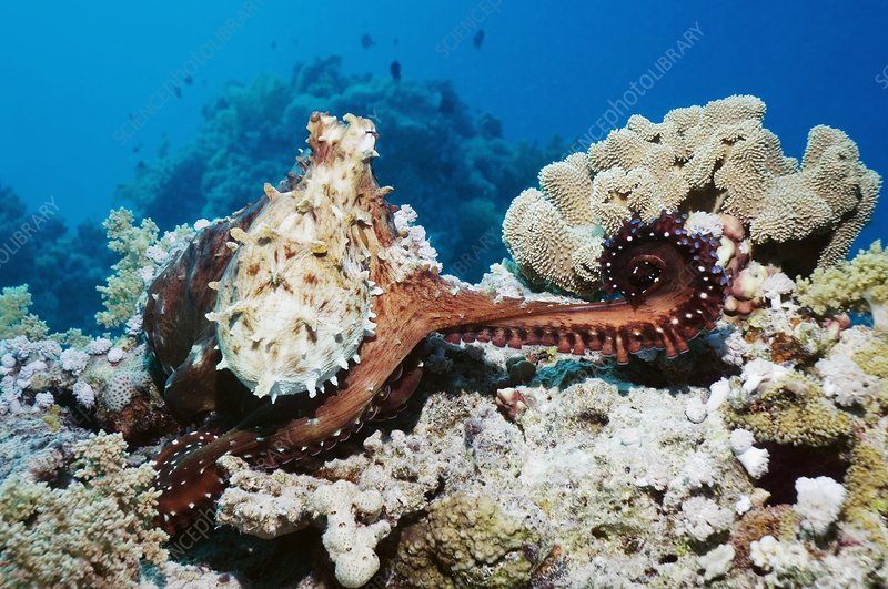 Day octopus on a reef