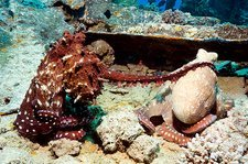 Mating pair of day octopuses