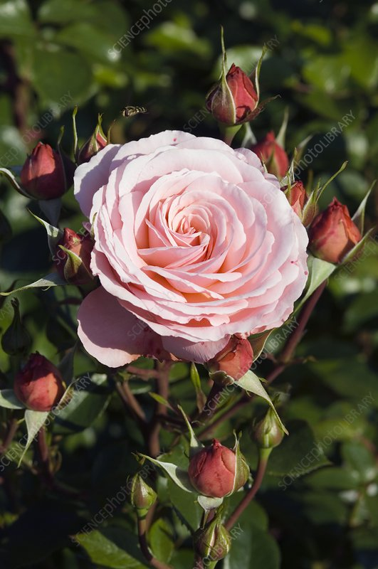 Rose (Rosa 'Sexy Rexie')