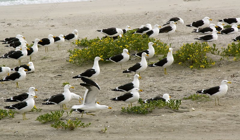 Kelp gulls on a beach