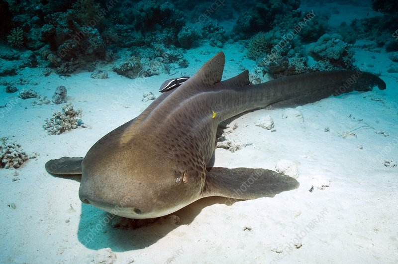 Leopard shark and remora