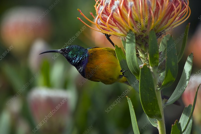 Orange-breasted sunbird on a flower