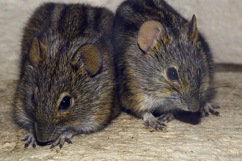 Three-striped mice