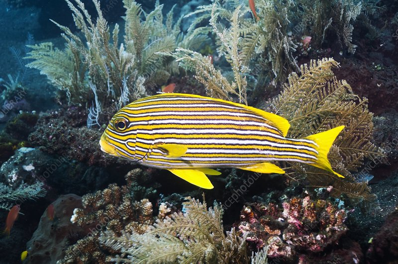 Yellow-ribbon sweetlips