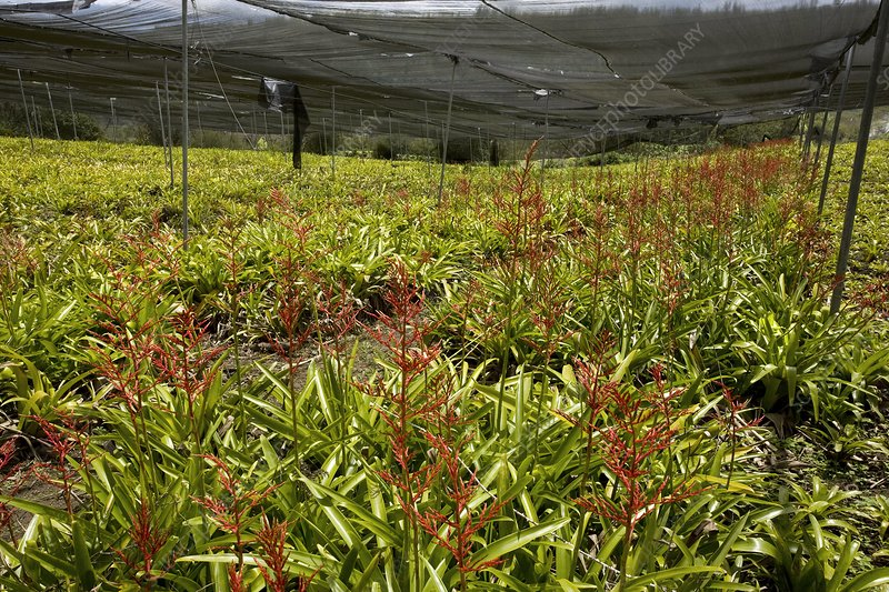 Bromeliads being cultivated