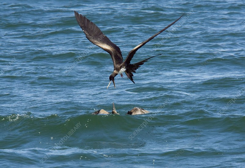 Great frigatebird and blue-footed booby