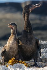 Flightless cormorant male and female