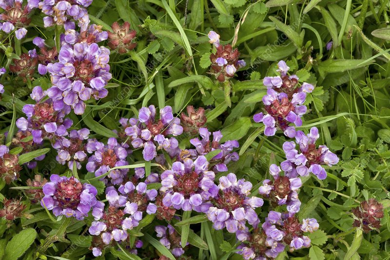 Self heal (Prunella vulgaris) flowers