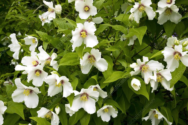 Mock-orange (Philadelphus 'Belle Etoile')