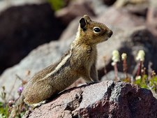 Golden-mantled ground squirrel on a rock