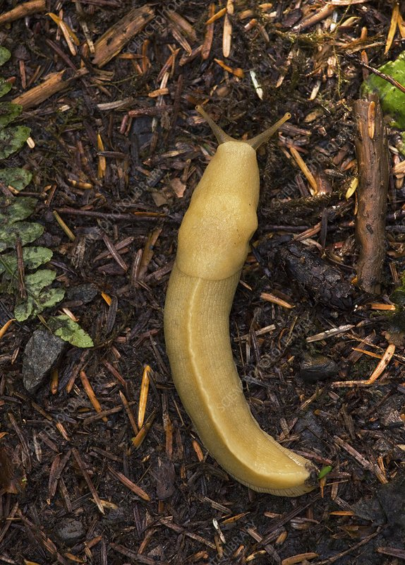 Pacific banana slug