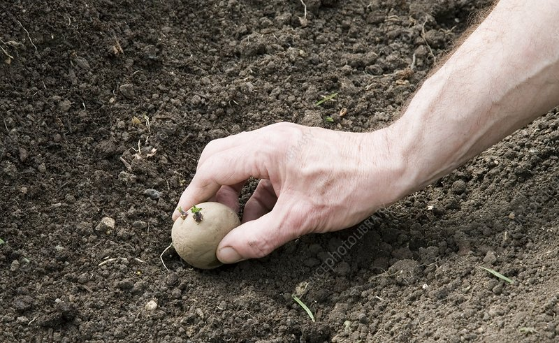 Gardener planting chitted potatoes