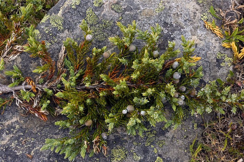 Dwarf common juniper (Juniperus communis)