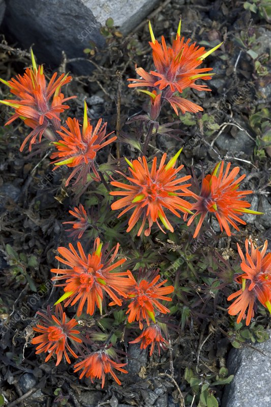Cliff paintbrush (Castilleja rupicola)