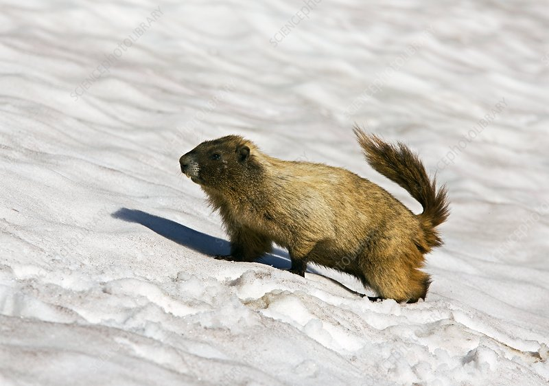 Hoary marmot in the snow