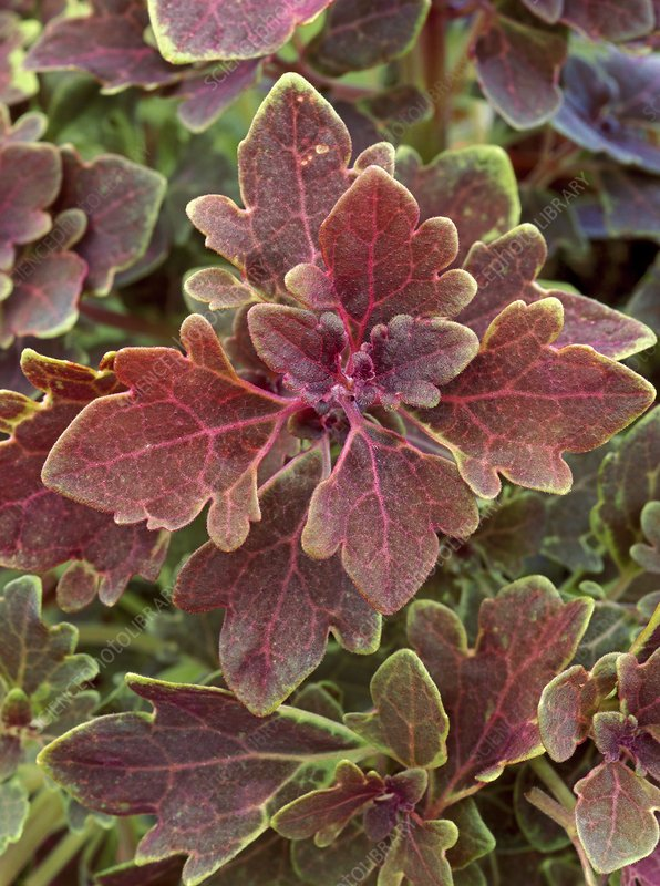 Solenostemon 'Purple Oak'