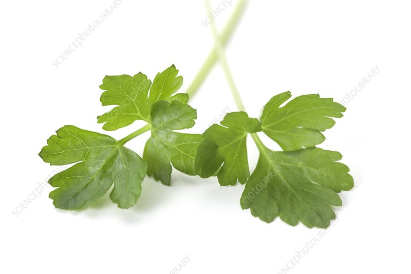 Flat leaf parsley leaves