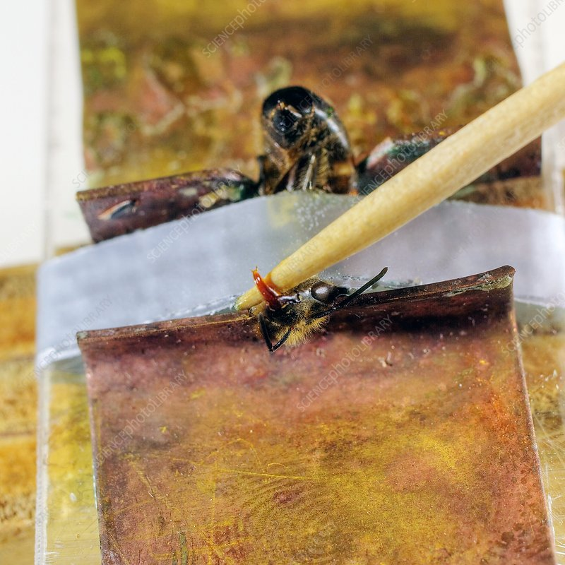 Honeybee brain research