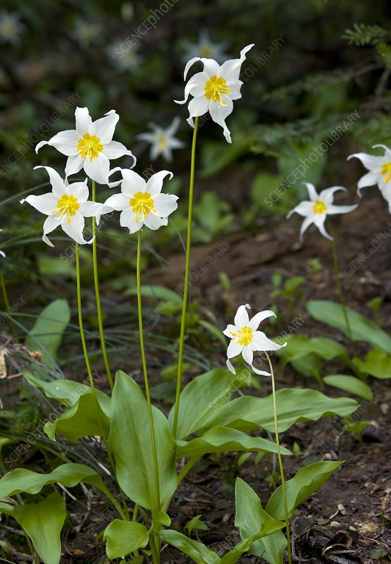 Avalanche lily (Erythronium montanum )
