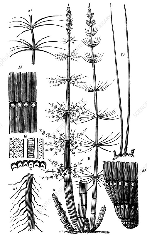 Calamites plants, 19th century artwork