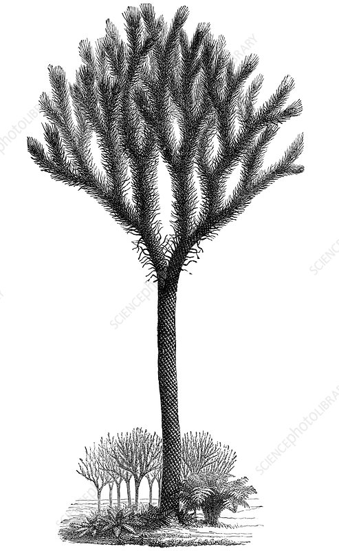 Lepidodendron plant, 19th century artwork