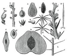 Devonian fruits, 19th century artwork