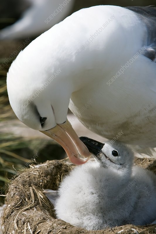 Black-browed albatross feeding its young