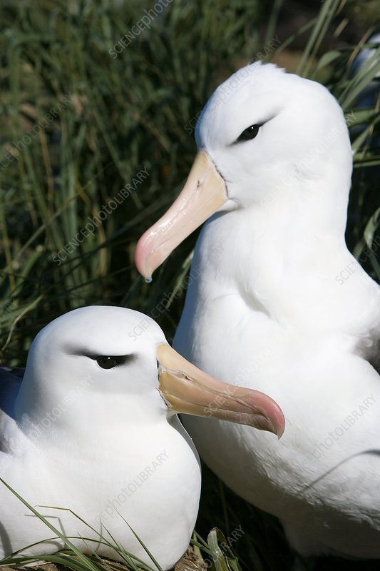 Black-browed albatrosses