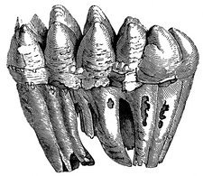 Mastodon teeth, 19th century artwork