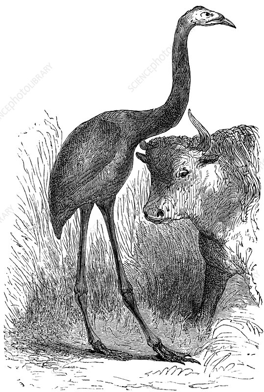 Giant moa and prehistoric cow, artwork