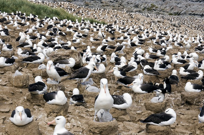 Black-browed albatrosses with their young