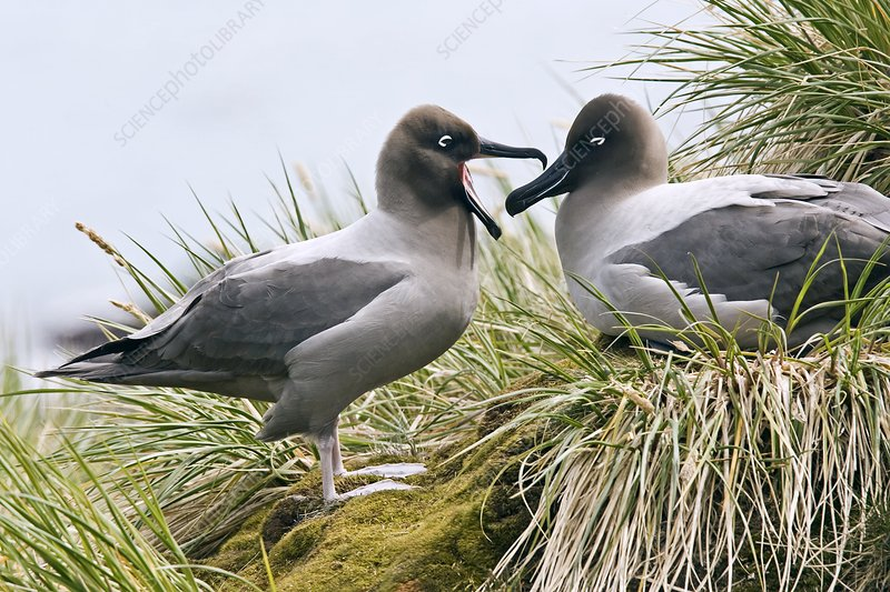 Light-mantled albatrosses