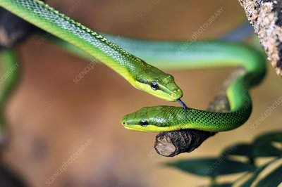 Red-tailed green ratsnakes